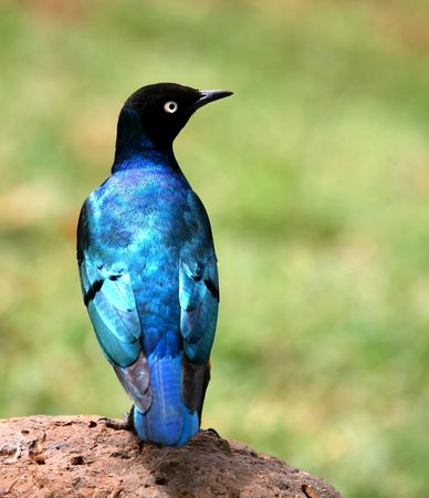 plummage: Blue Bird Of Africa Stock Photo