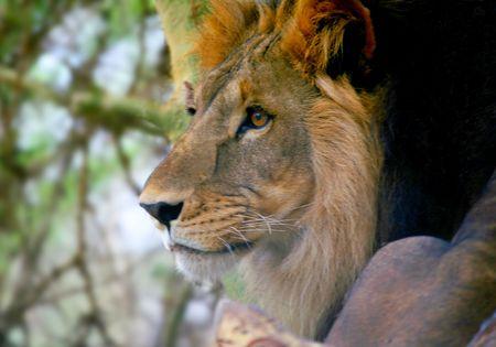 Head Lion Stock Photo - 2127000