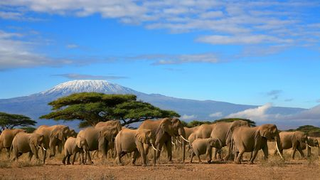 elephant�s: Kilimanjaro con manada de elefantes