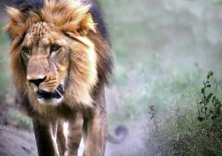 gregarious: A Lion On The Prowl