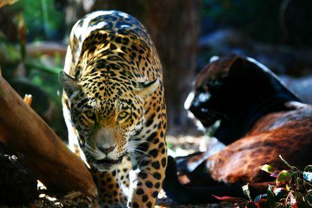 prowling: Jaguar