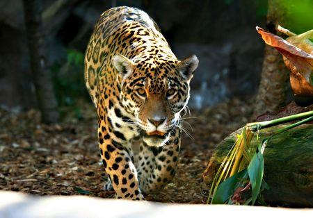 gregarious: Jaguar Prowess