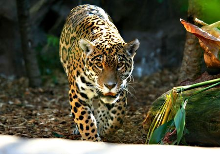 prowling: Jaguar Prowess