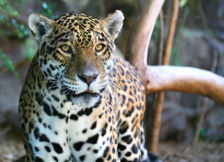 gregarious: Jaguar
