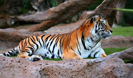A Tiger photo