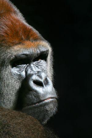 Gorilla Looking