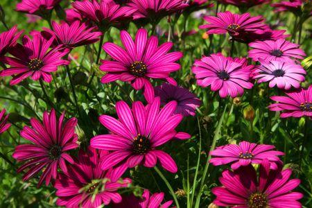 daisys: Purple Daisys