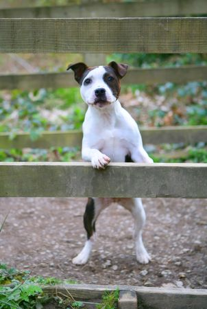 Staffordshire Puppy Banque d'images