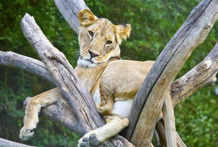 africat: Lazy Lioness