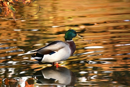 glistening: A mallard duck with a glistening lake background on Linacer reservoir in Derbyshire. Stock Photo
