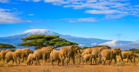 Kudde Afrikaanse olifanten op een safari reis naar Kenia en een sneeuw bedekte Kilimanjaro berg in Tanzania op de achtergrond, onder bewolkte blauwe lucht.