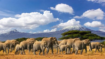 Mt Kilimanjaro Tanzania, large herd of african elephants and snow capped mountain, taken on a safari trip in Kenya with cloudy blue sky. Africas highest point with largest mammals savannah landscape. Standard-Bild