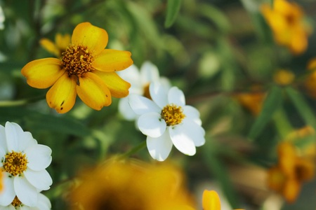 marguerite: Close up of yellow  flower in the garden