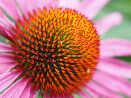 close-up of pink echinacea flower