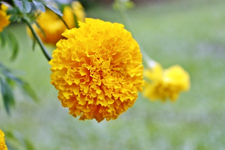 Marigolds flowers orangeyellow flower marigold flowers king marigolds flowers orangeyellow flower marigold flowers king rama 9 thailand stock photo mightylinksfo