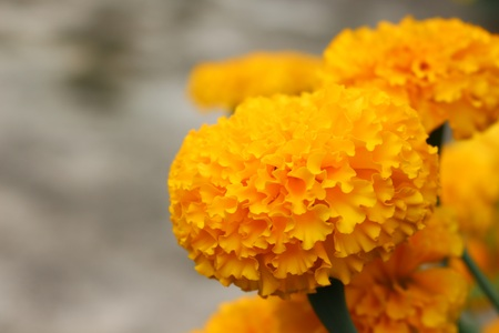 Selective focus and blurry close up of marigolds flowersllow selective focus and blurry close up of marigolds flowersllow flower stock photo mightylinksfo