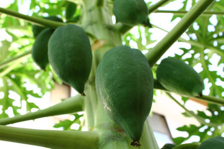 Papaya tree photo