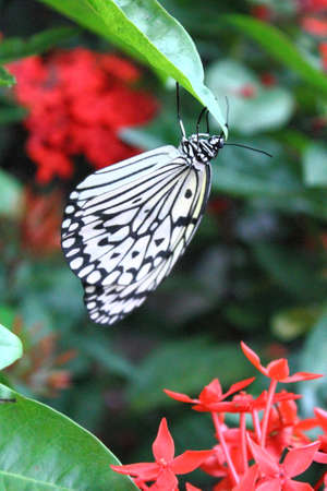 Noire papillon blanc photo