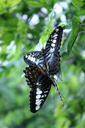 Butterfly in love photo