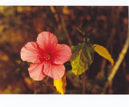 pflanzen: hybiskus