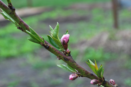 Young peach buds in spring, the beginning of blooming flowers