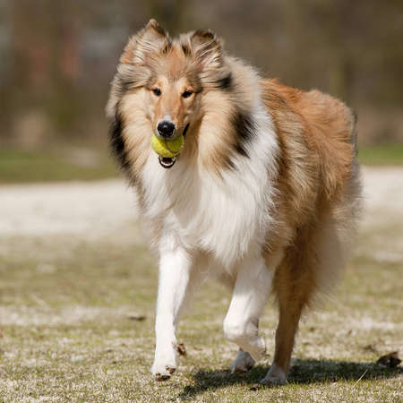 Scotch Collie running towards the camera with a tennis-ball in his jaw