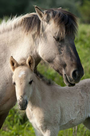 filly: Wild filly with his mother are enjoying the sun