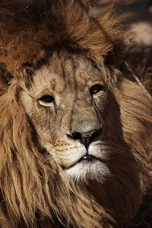 otganimalpets01: This beautiful African Lion was taken while on safari.
