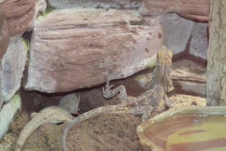 viviparous lizard: Lizard