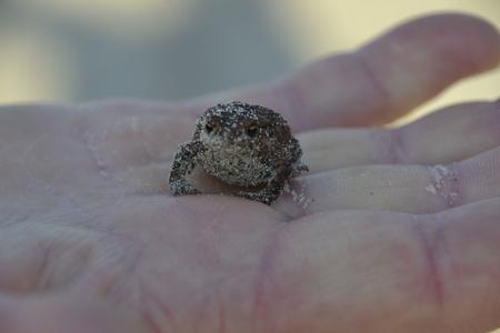 european: European toad