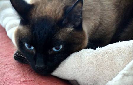 blue siamese cat: Siamese cat with blue eyes Stock Photo
