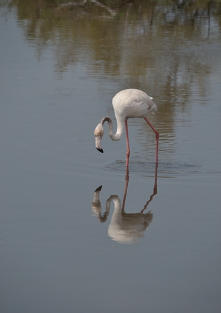 curved leg: Flamingo reflection