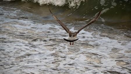 wingspan: Seagulls
