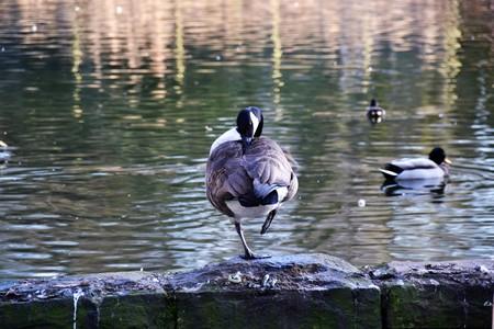 brine: Canada Goose (Branta canadensis) Stock Photo