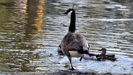 Canada Goose (Branta canadensis) Stock Photo