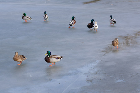 A group of wild mallard ducks are walking on a frozen lake