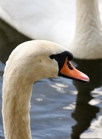 Mute Swans. Very, couple.