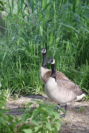 Canada Geese. Waterfowl, flock.