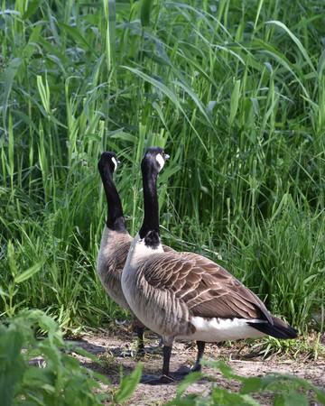 Geese staring away