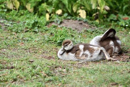 Egyptian Goose Goslings Stock Photo