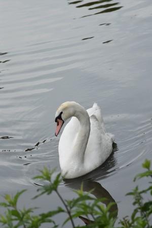 Swan. Elegance, fauna. Stok Fotoğraf