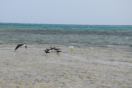 A white stork and a flock of seagull searching for fish in Marsa Alam sea in Egypt.