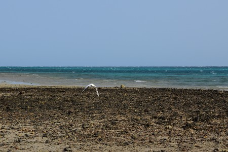 A white stork flying and searching for fish in Marsa Alam sea in Egypt.