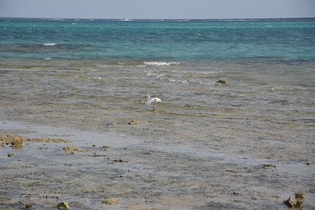 A white stork searching for fish in Marsa Alam sea in Egypt.