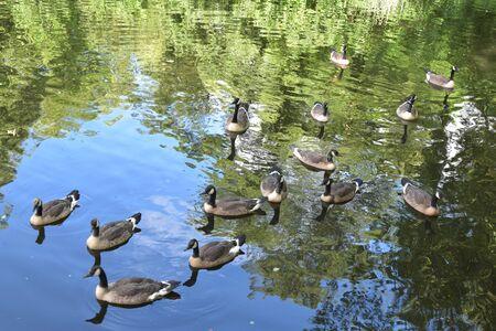Canadian Goose Swimming. Stock Photo