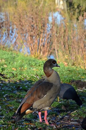 Male Egyptian Goose.