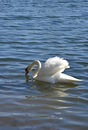 Swan in clear blue water.