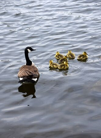 Happy Geese Family Swimming.
