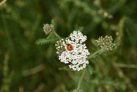Ladybug. Zdjęcie Seryjne