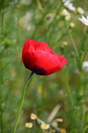 Single poppy in sunlight
